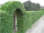 Climbing Plants Which Can Cover Fences