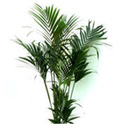 Kentia Palm (Howea fosterania) is very tolerant of the indoor