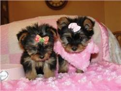 Tiny Micro Exclusive Yorkie Puppies!Available