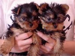 Well Trained teacup yorkie puppies ready for good home.