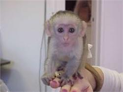 Capuchin Monkeys For Adoption Call or Text me Now