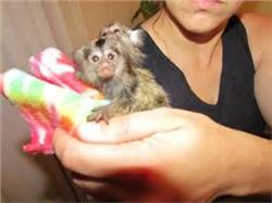 Pygmy Marmoset and Capuchin Monkeys Available Call or Text At (818) 869-8988